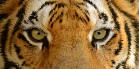 Iridology: Tiger Eyes